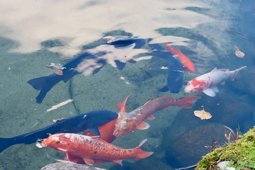Koi fish live in the streams and rivers