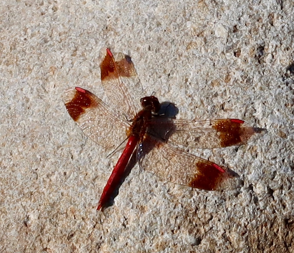 Sunbathing dragonfly
