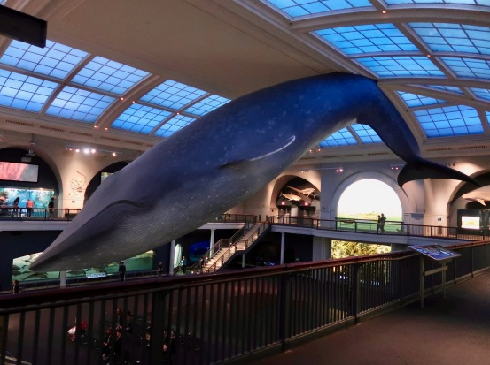 The massive blue whale at the Natural History museum.