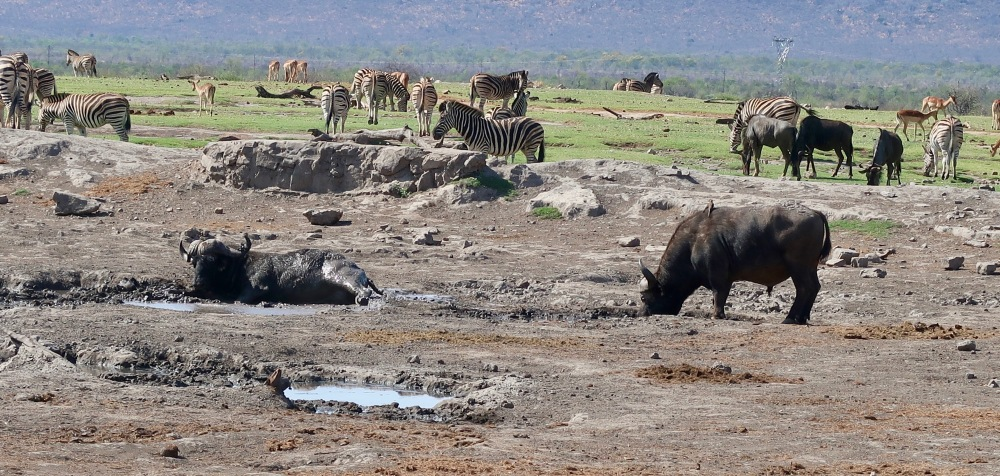 At the watering hole, zebra, buffalo, wildebesst and impala.