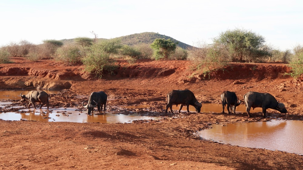 Buffalo at the watering hole.