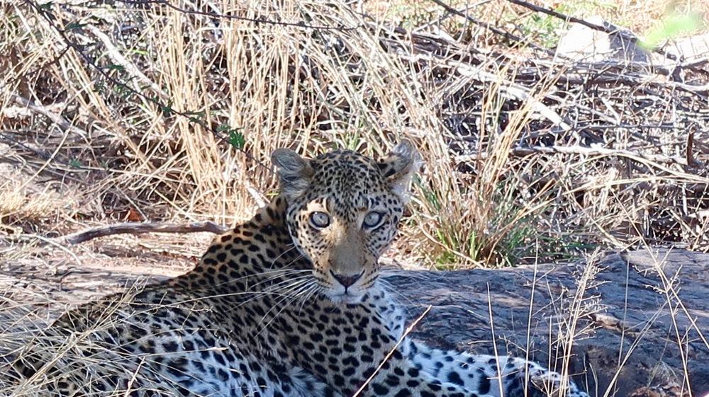 Leopard eyes.